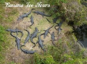Krokodile in den Everglades