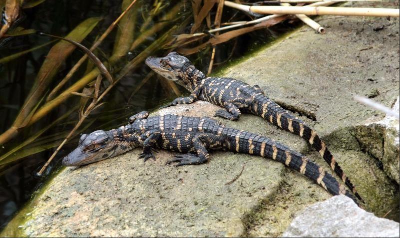 Alligatoren Everglades - Babies